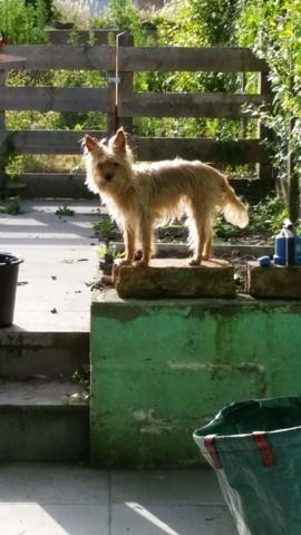 Fidji, chien Yorkshire Terrier
