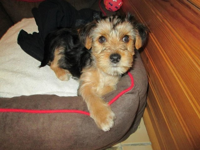 Habby, chien Yorkshire Terrier
