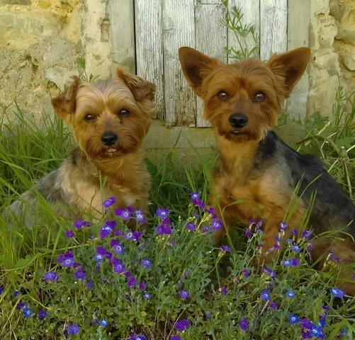 Irvin, chien Yorkshire Terrier