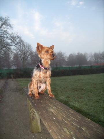 Gary, chien Yorkshire Terrier