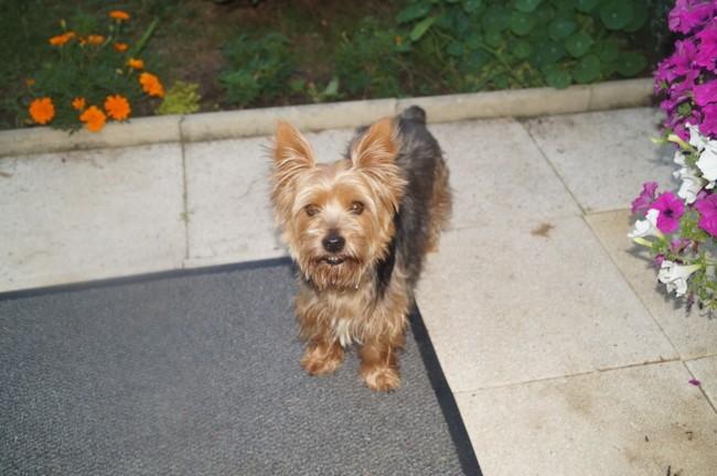 Lara, chien Yorkshire Terrier