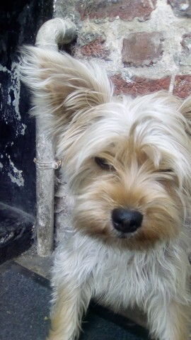Missy, chiot Yorkshire Terrier