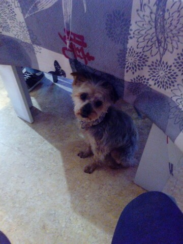 Appollo, chien Yorkshire Terrier