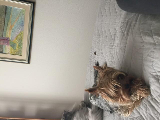 Tao, chien Yorkshire Terrier