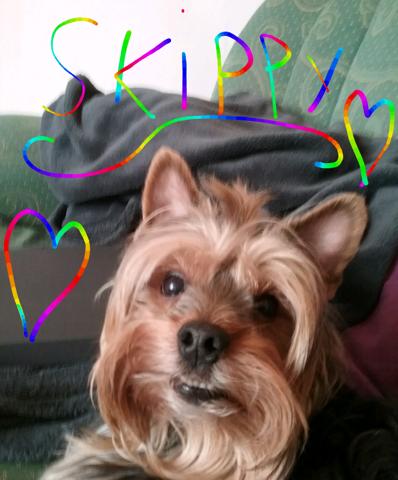 Skippy, chien Yorkshire Terrier