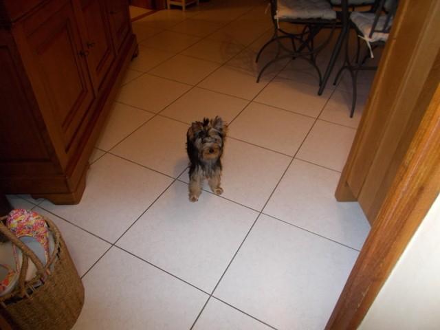 Nina Ricci, chiot Yorkshire Terrier