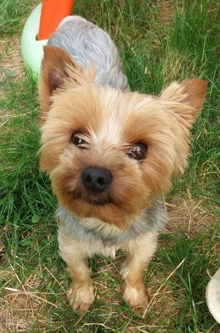 Néo, chien Yorkshire Terrier