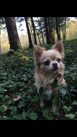 Yoshi, chien Chihuahua