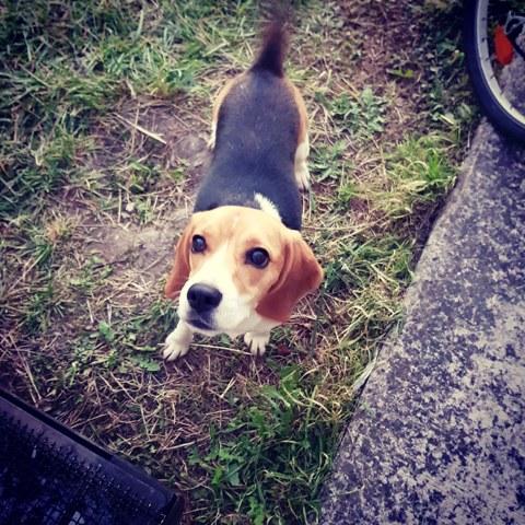 Youpi, chien Beagle