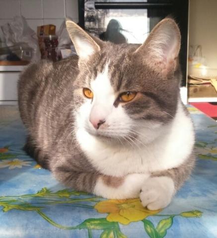 Yûgi, chat Européen