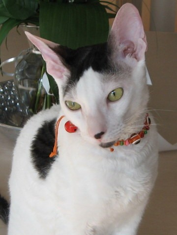 Yuki, chat Cornish Rex