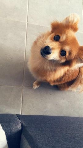 Yuuki, chien Spitz allemand