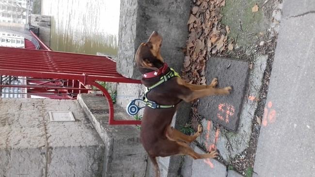 Zarco, chien