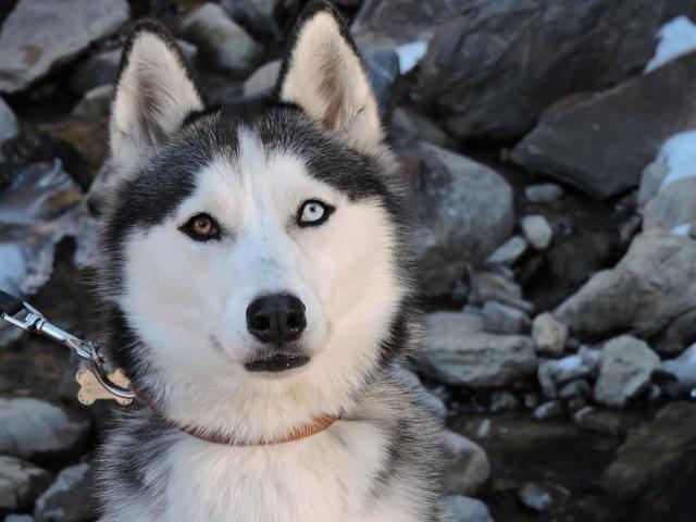 Zéna, chien Husky sibérien