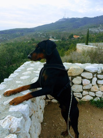 Zeus, chien Dobermann