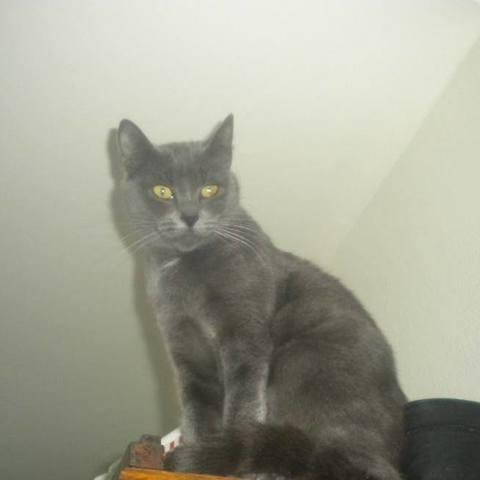 Zézette  La Maman De Houna, chat Bleu russe