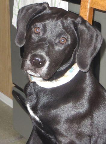 Zézette, chiot Labrador Retriever