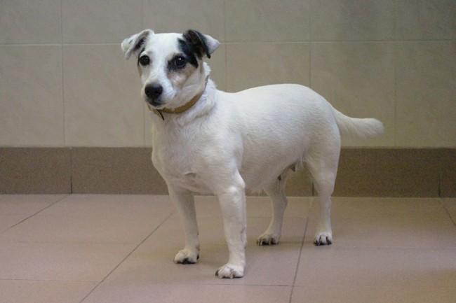 Zina, chien Jack Russell Terrier