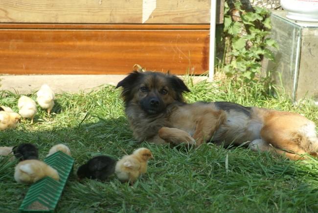 Zina, chien Petit chien lion