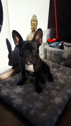 Zoe, chien Bouledogue français