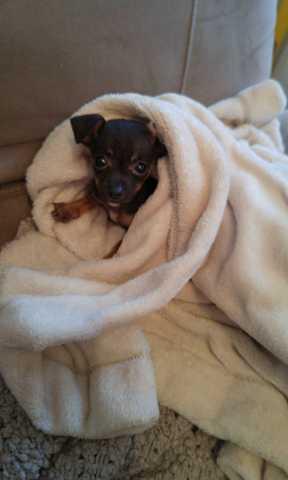 Zoé, chiot Chihuahua