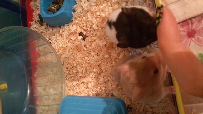 Zouchera Et Thors, rongeur Hamster
