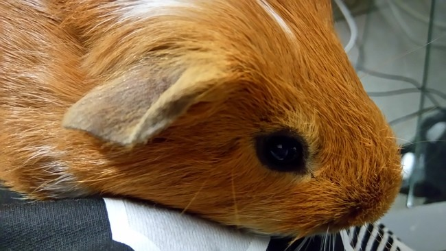 Zoupi, rongeur Cochon d'Inde