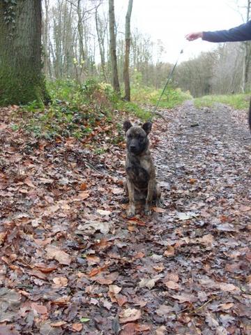 Zuleika, chien Cão fila de São Miguel
