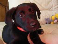 Isis, chien Labrador Retriever