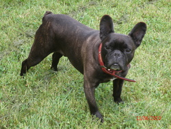 Ulk, chien Bouledogue français