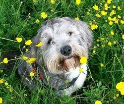 Chadok Surnom Chouchou, chien Terrier tibétain