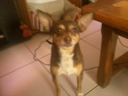 Spayk, chien Pinscher