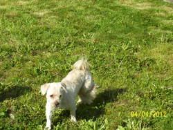 Ulysse, chien Lhassa Apso