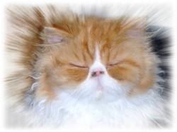 Flannelle De La Petite Creuse, chat Persan