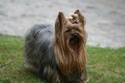 Victor, chien Yorkshire Terrier