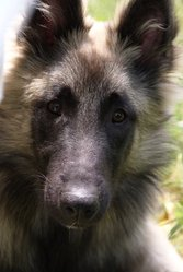 Eliott, chien Berger belge