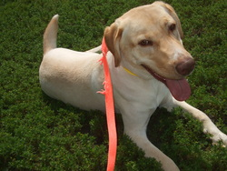 Spot-, chien Labrador Retriever