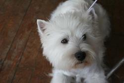 Dirsty, chien West Highland White Terrier