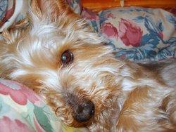 Tango, chien Yorkshire Terrier