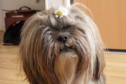 Maya, chien Lhassa Apso