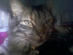 Lilo, chat Norvégien