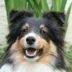 Vanille, chien Berger des Shetland