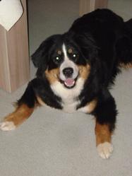 Kilei, chien Bouvier bernois