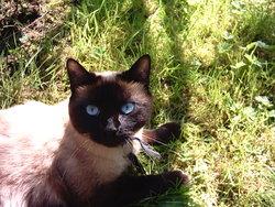 Poupoutch, chat Siamois