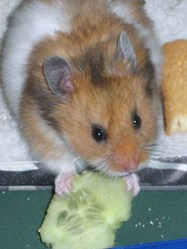 Val, rongeur Hamster