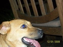 Meriale, chien Berger belge