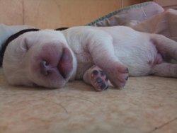 Ti Mâle, chien Labrador Retriever