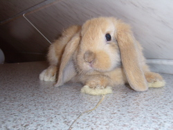 Minemin, rongeur Lapin