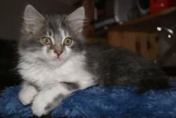 Pimousse, chat Européen