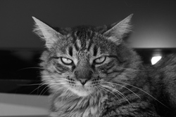 Achille, chat Maine Coon